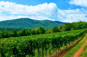 Vineyard 20